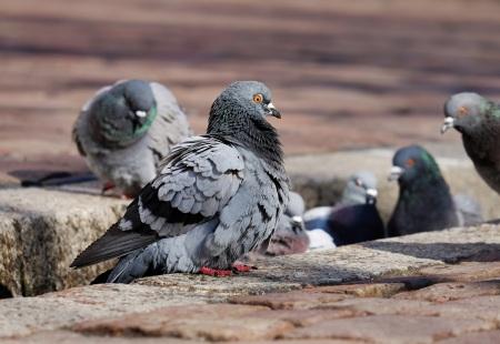 Les pigeons de ville © Ilona