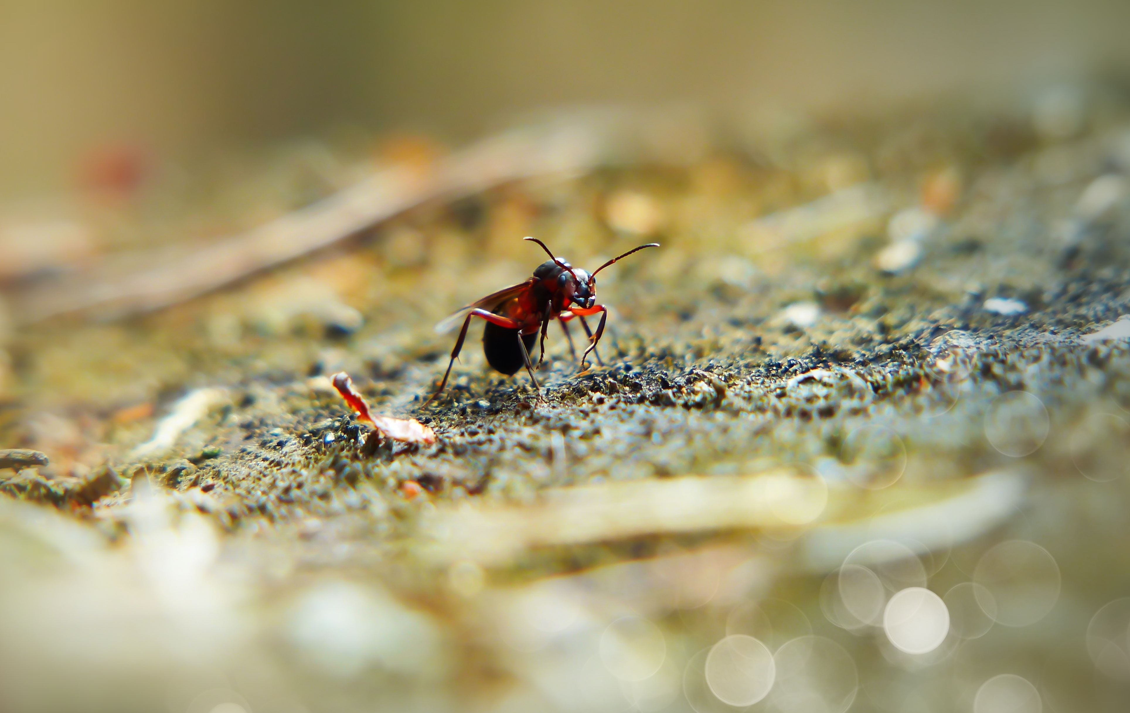 Une fourmi rouge. Par Krzysztof Niewolny, https://pixabay.com/fr/photos/fourmi-rouge-reine-femelle-insecte-4184750/