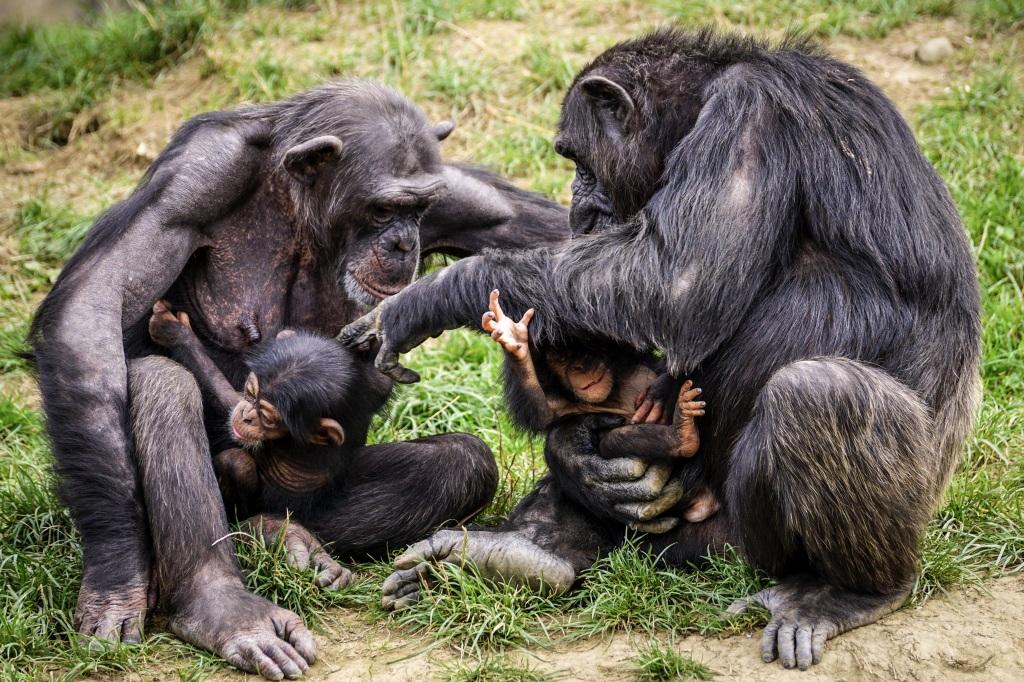 Un couple de chimpanzés et deux petits. Par Suju, https://pixabay.com/fr/photos/chimpanz%C3%A9s-singe-singes-m%C3%A8res-3707292/