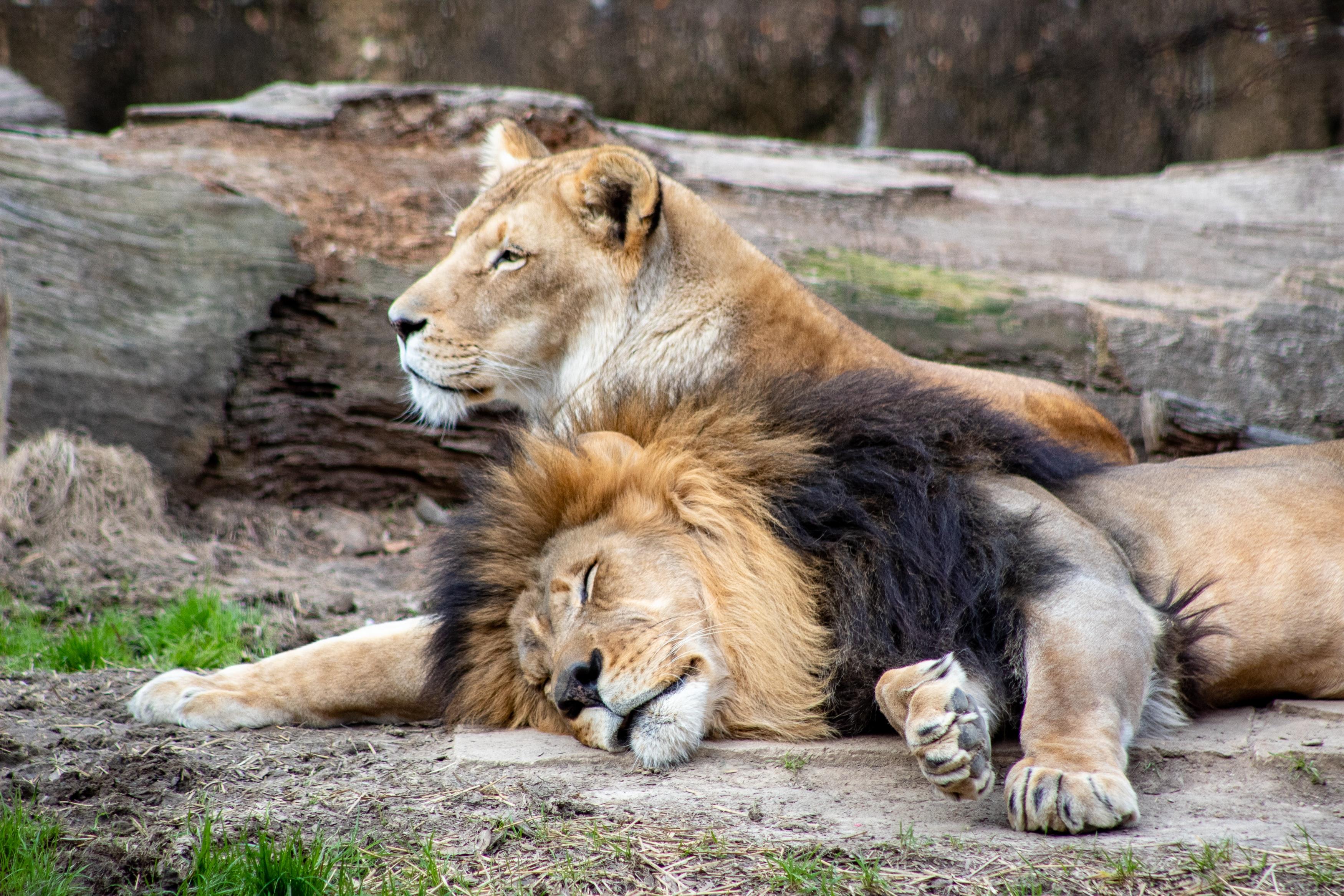 Un couple de lions se prélassant l'un à côté de l'autre. Par Joshua J. Cotten, https://unsplash.com/photos/Q2SC_YN6qsw
