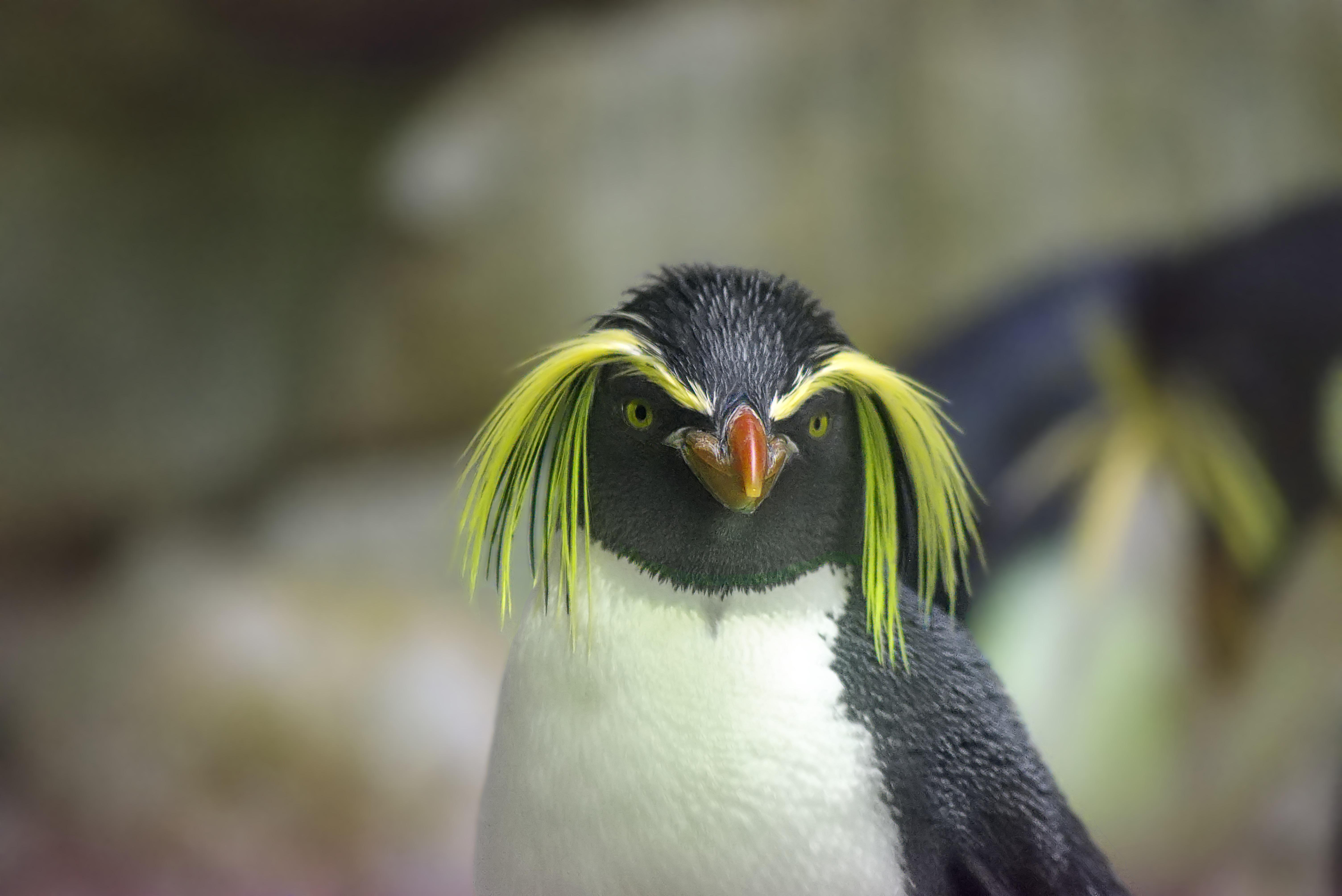 Un gorfou sauteur. Par Michael Frankenstein, https://pixabay.com/fr/photos/pingouin-gorfou-sauteur-zoo-2104173/